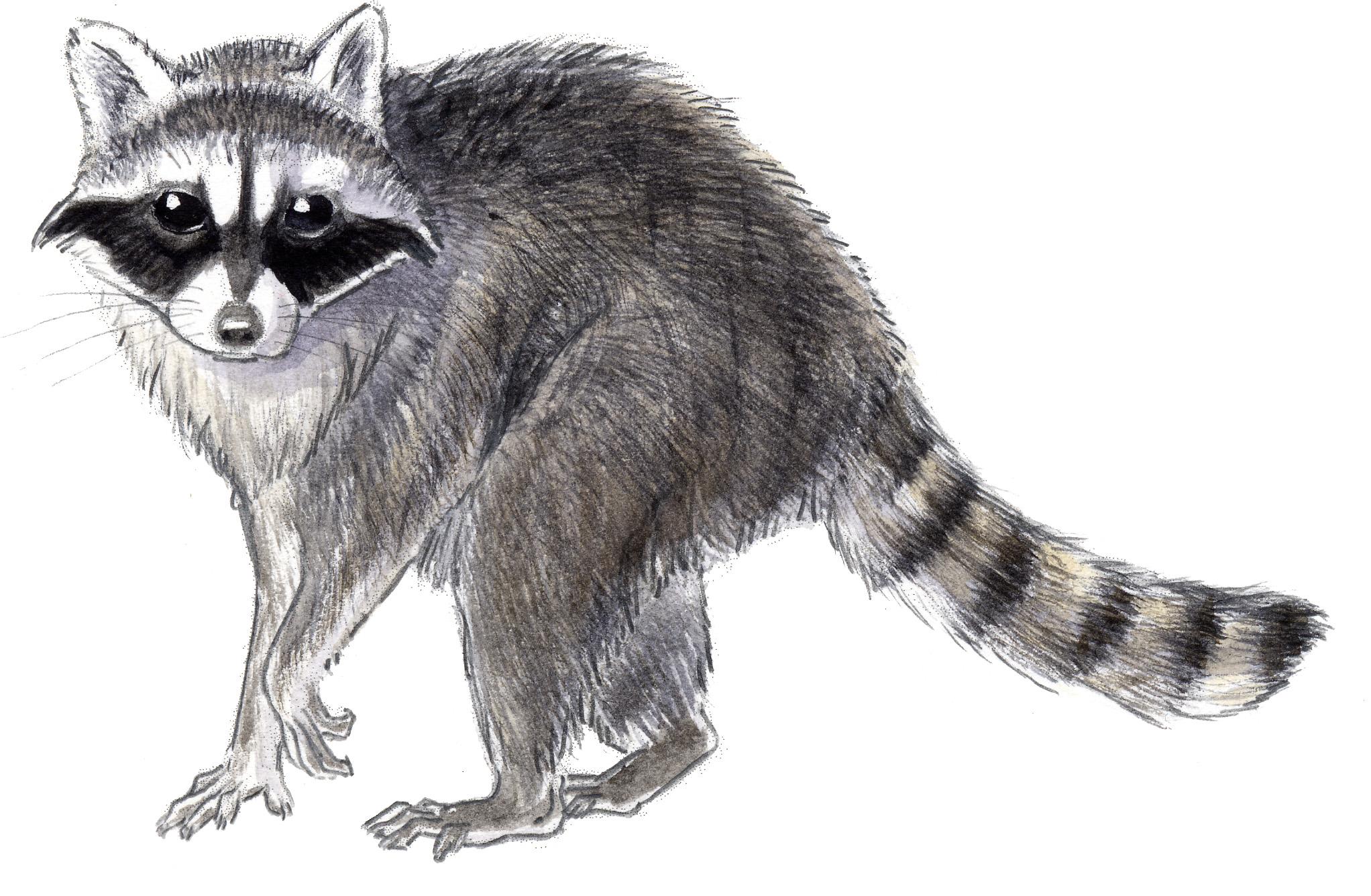 Raccoon - John Muir Laws Raccoon Drawing