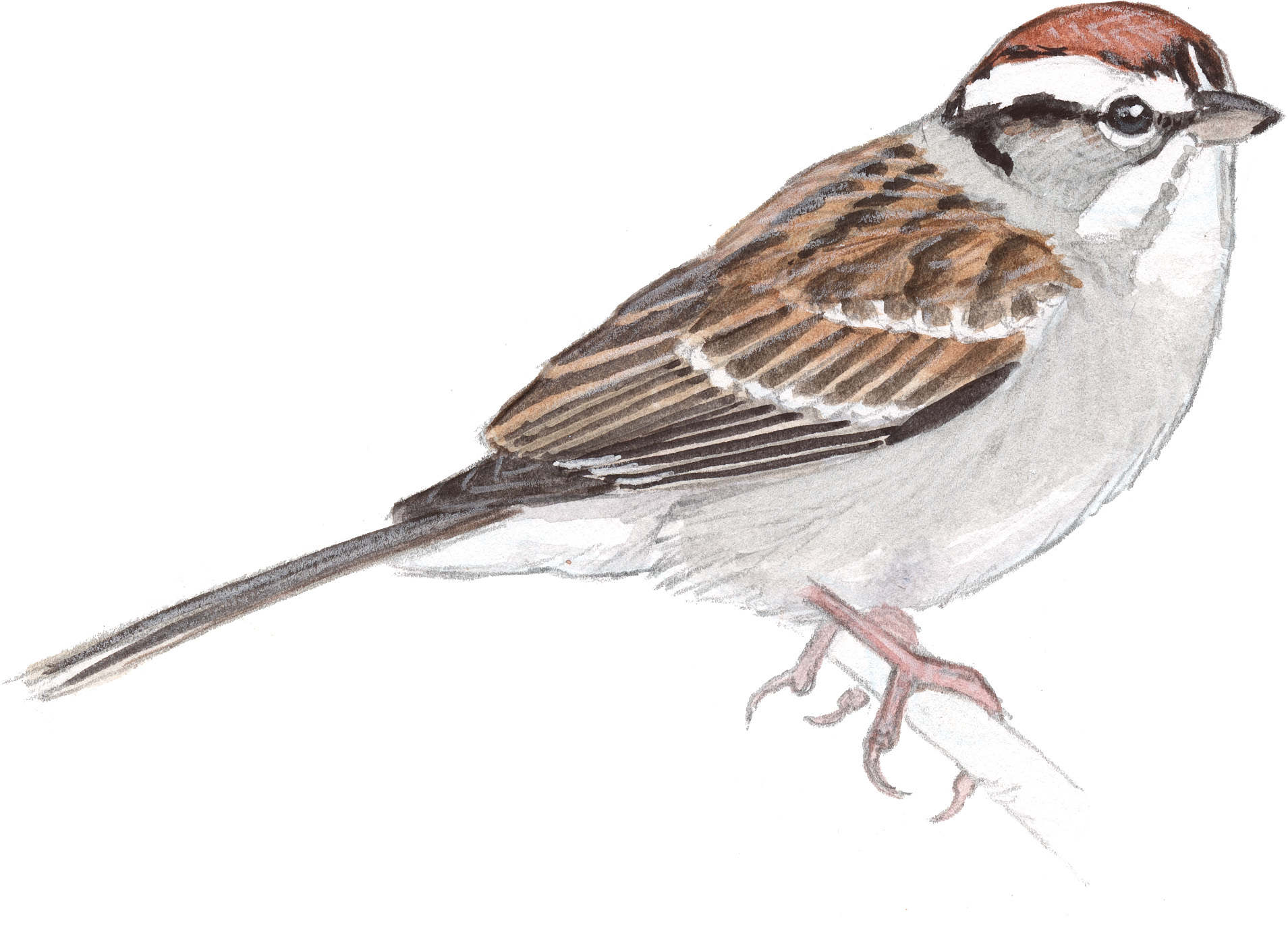 Sparrow Drawing Pictures
