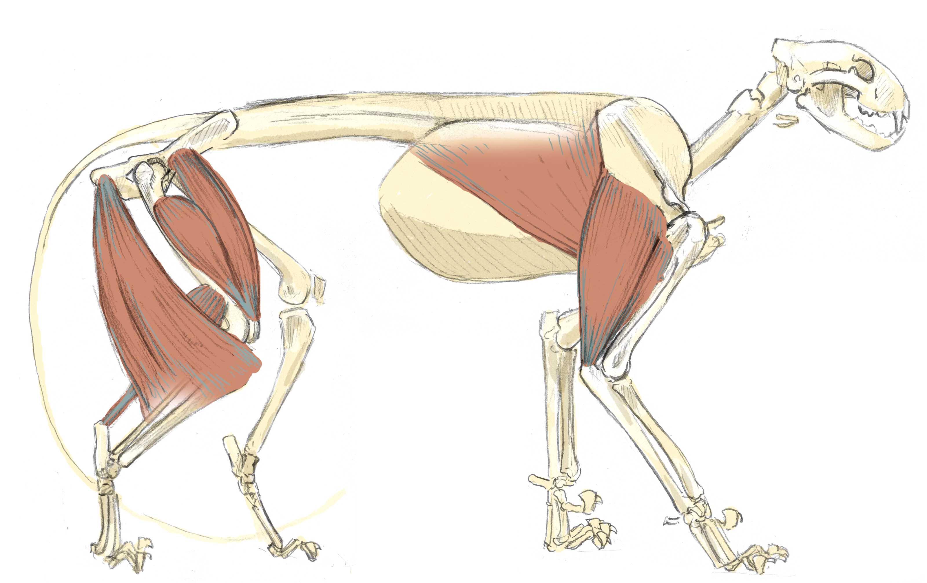 Mountain Lion Skeleton 13 John Muir Laws