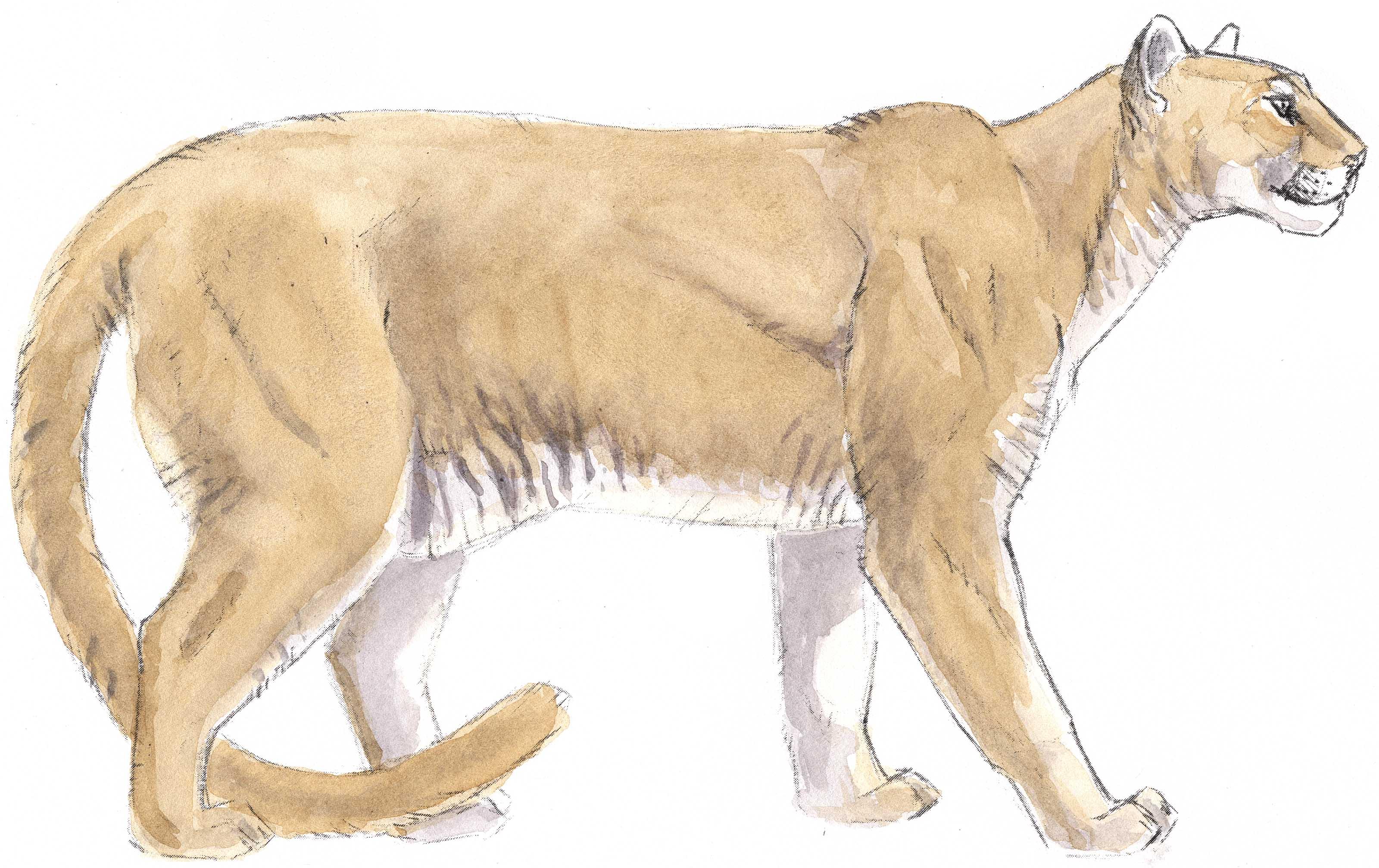 Gemtlich Lion Anatomy And Physiology Galerie Menschliche Anatomie