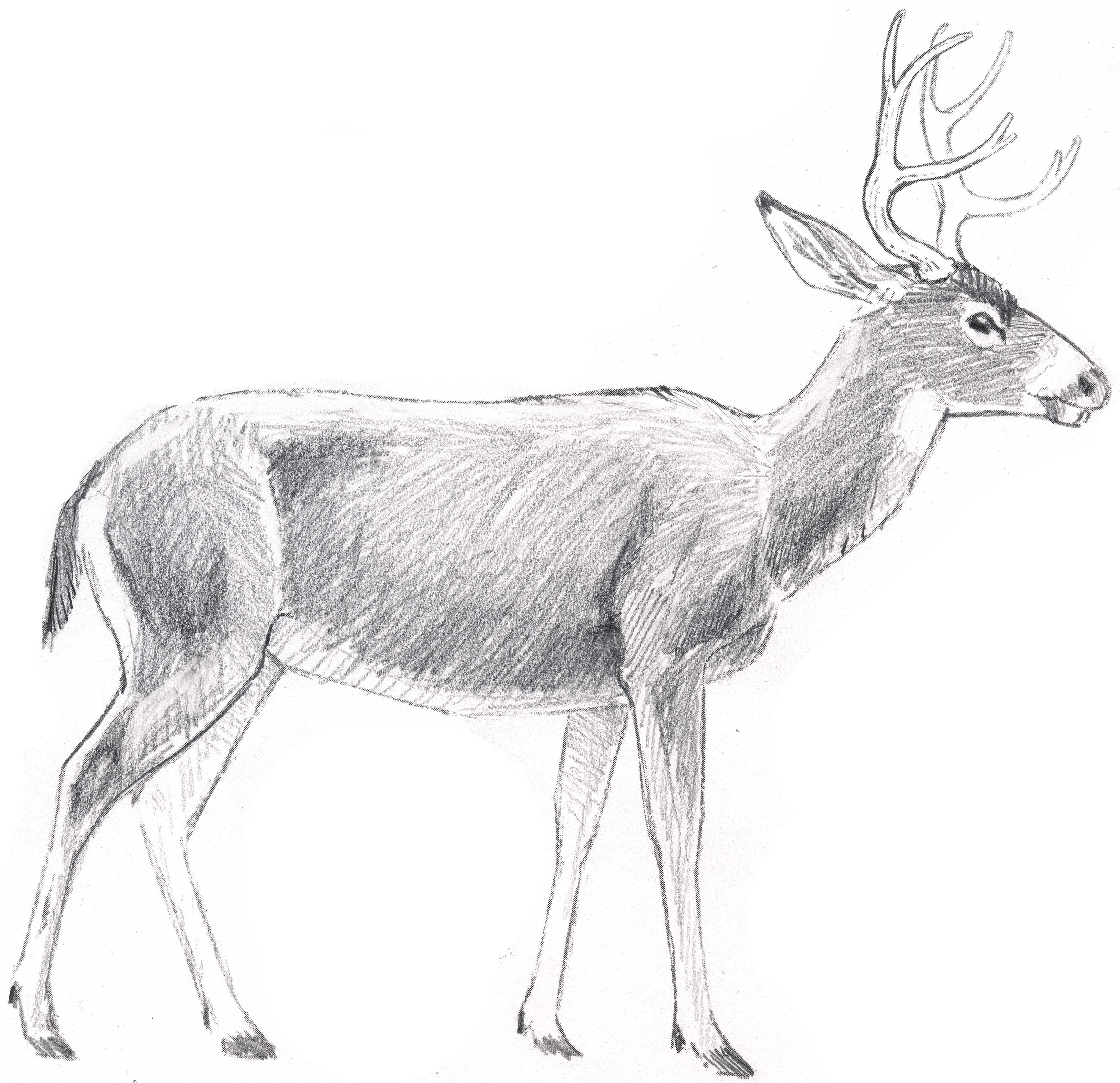 Deer Drawing Drawing a Bunch of Hairs