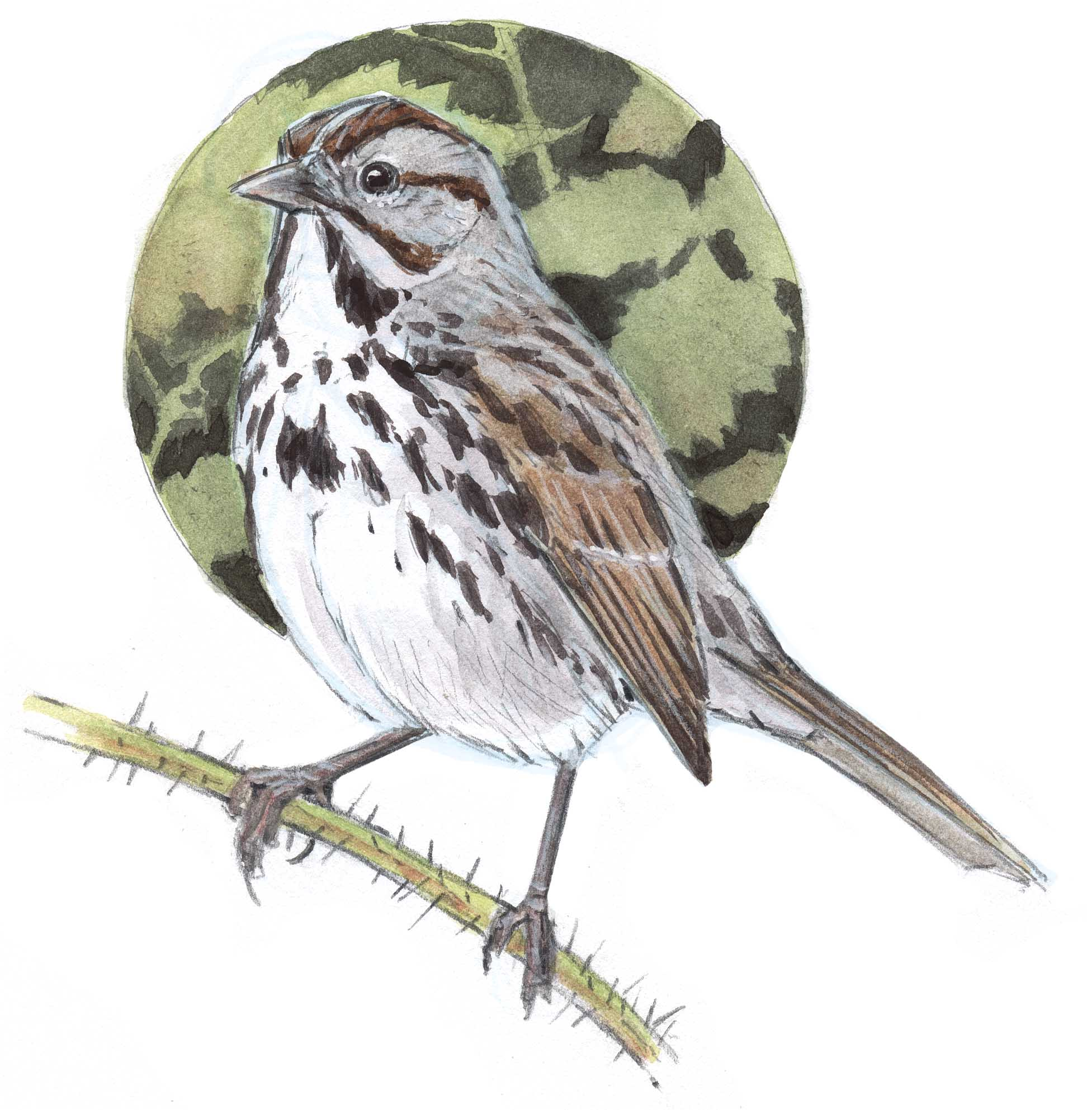 Field Sparrow Drawing