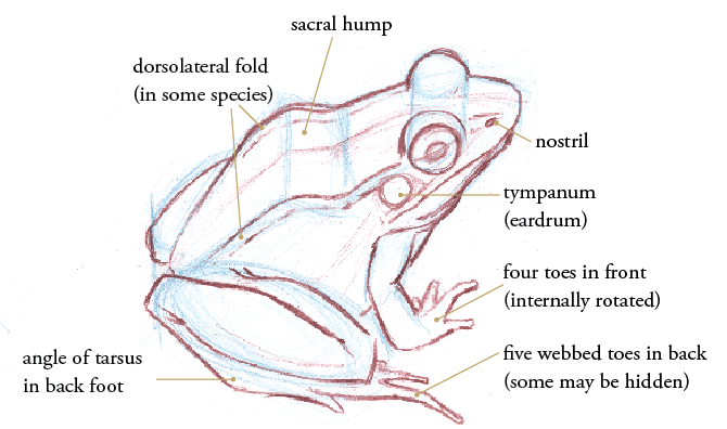 How To Draw Frogs And Toads