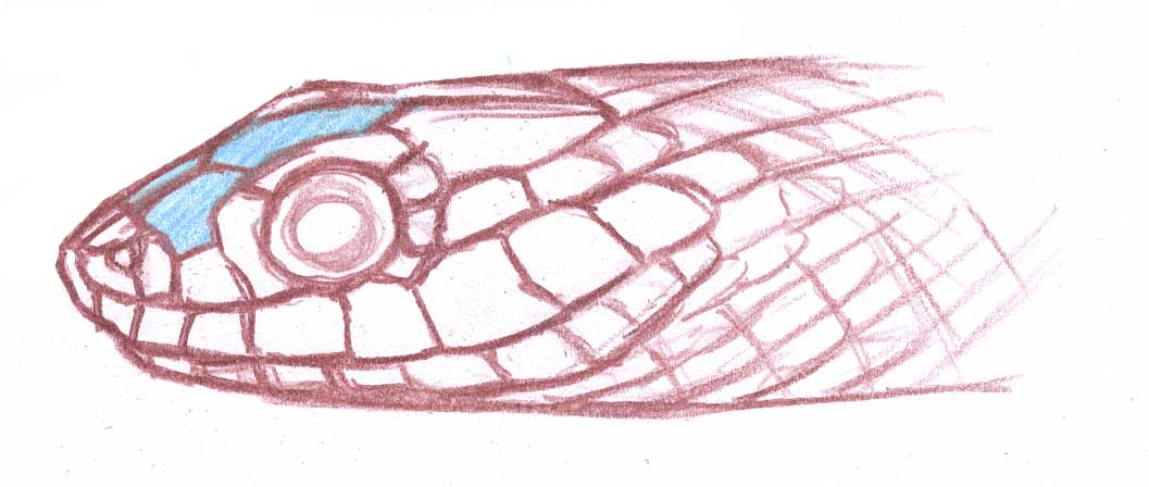 Snake Face Scales Frontal Prefrontal John Muir Laws