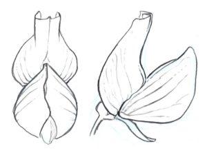 Drawing Plants 2.062-001