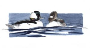 bufflehead sbs 30