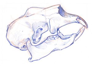 porcupine skull 7
