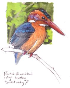 Pygmy Kingfisher 9